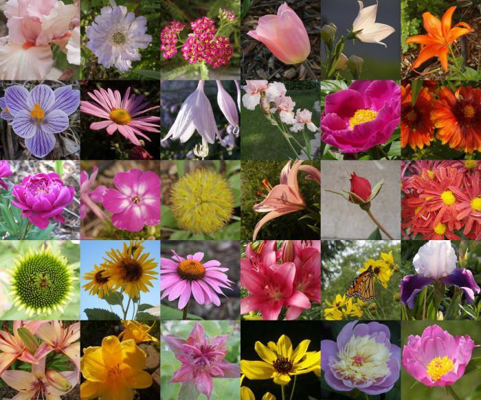 Садовые названия цветов по картинке