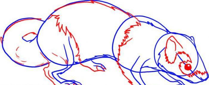 как нарисовать хорька