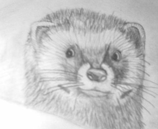 как нарисовать маленького хорька