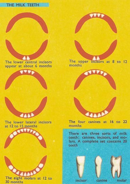 сколько зубов в 1 год