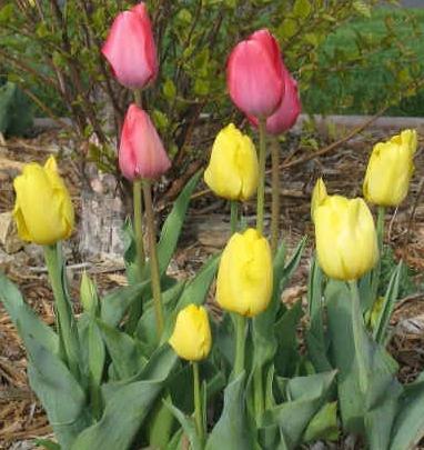 Выгонка тюльпанов к 8 Марта 88