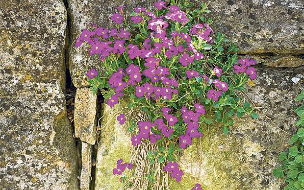 Цветы обриета выращивание