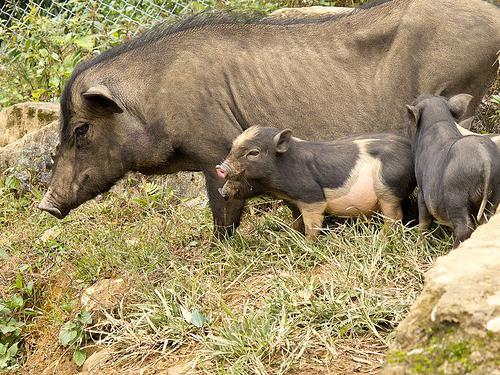 вьетнамские свиньи кормление