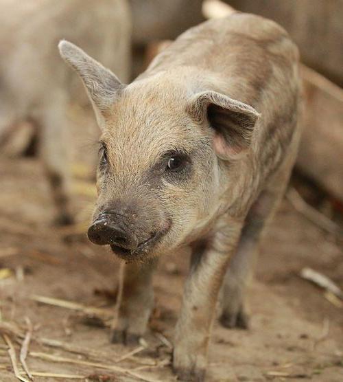 свиньи вьетнамской породы