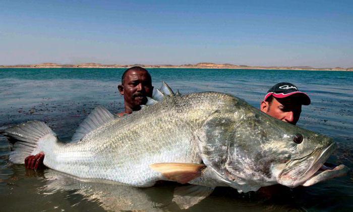 рыбалка нильский окунь