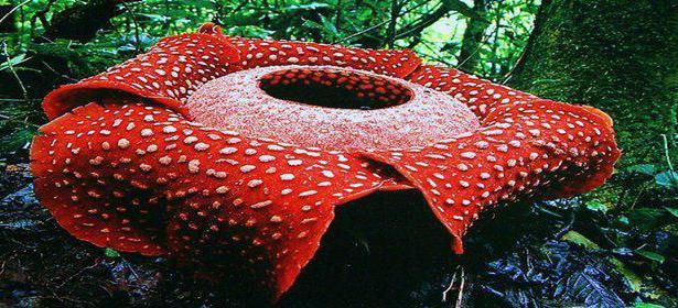Раффлезия цветок описание