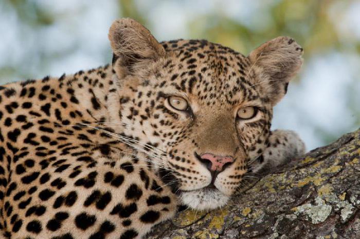 Леопарда и пантера занимаются сексом
