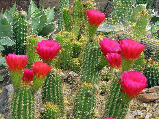 приспособленность кактуса к среде обитания