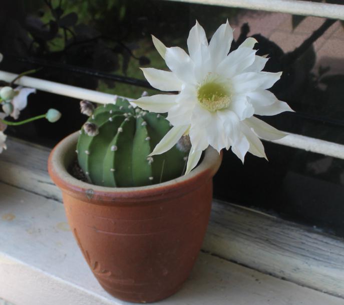 описание кактуса
