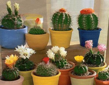 названия кактусов