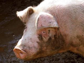 Что такое свиной грипп и как он проявляется thumbnail