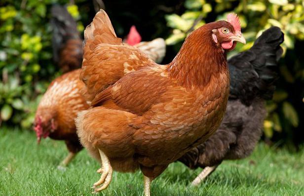 курица клюет яйца что делать