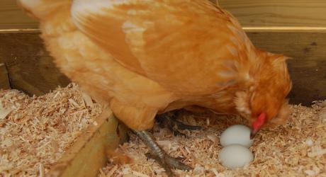 куры клюют яйца что делать
