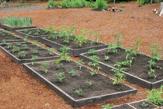 Растение детерминантное. Детерминантные томаты - что это такое?