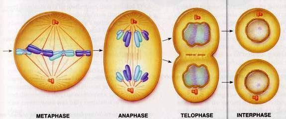 хромосомы в клетке
