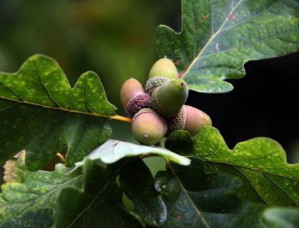 плоды дуба