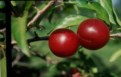 Слива - это ягода или фрукт? Слива - это дерево или кустарник?