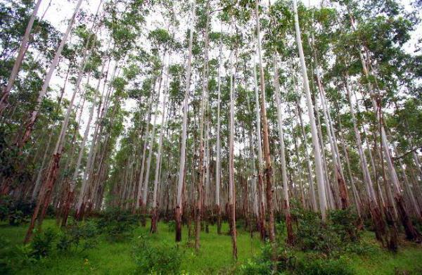 эвкалипт самое высокое дерево