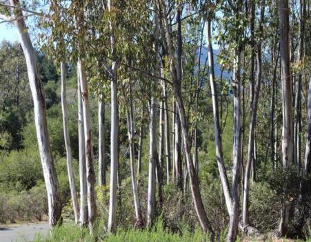 эвкалипт дерево где растет