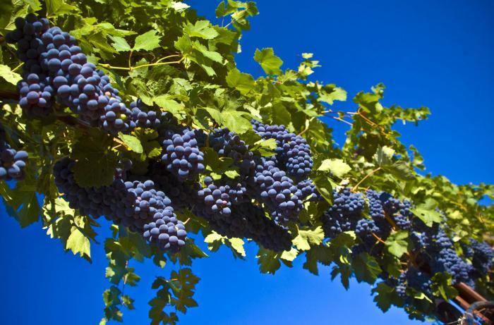 К чему снится виноград женщине: толкование сновидений