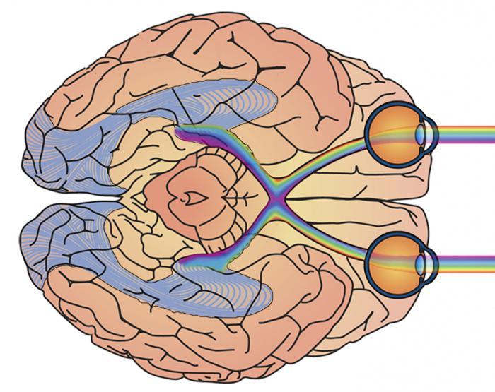 гражданин трудовому восприятие картинок мозгом готовыми шаблонами или
