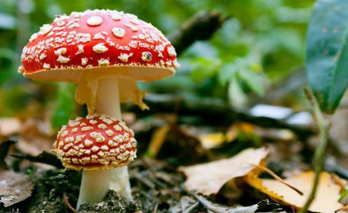 от чего лечит чайный гриб