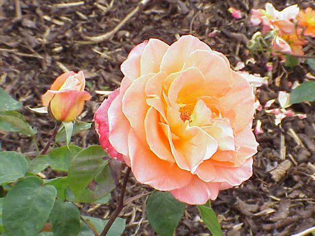 Как укоренить черенок розы? Как сажать розы черенками (фото): http://fb.ru/article/154130/kak-ukorenit-cherenok-rozyi-kak-sajat-rozyi-cherenkami-foto