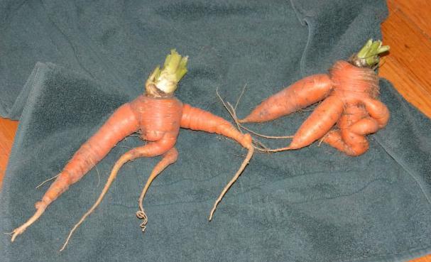 почему вырастает рогатая морковь