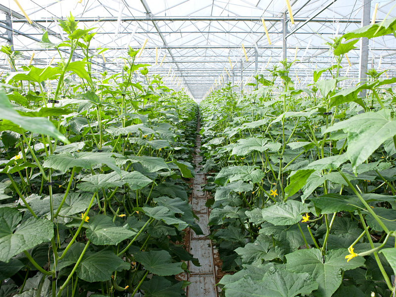 Огурцы криспина f1 выращивание 17