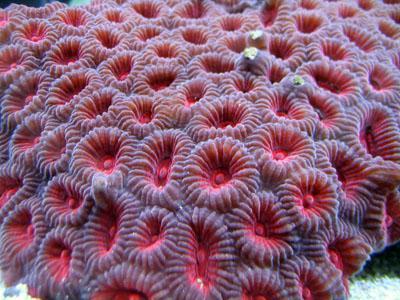 Что такое корал