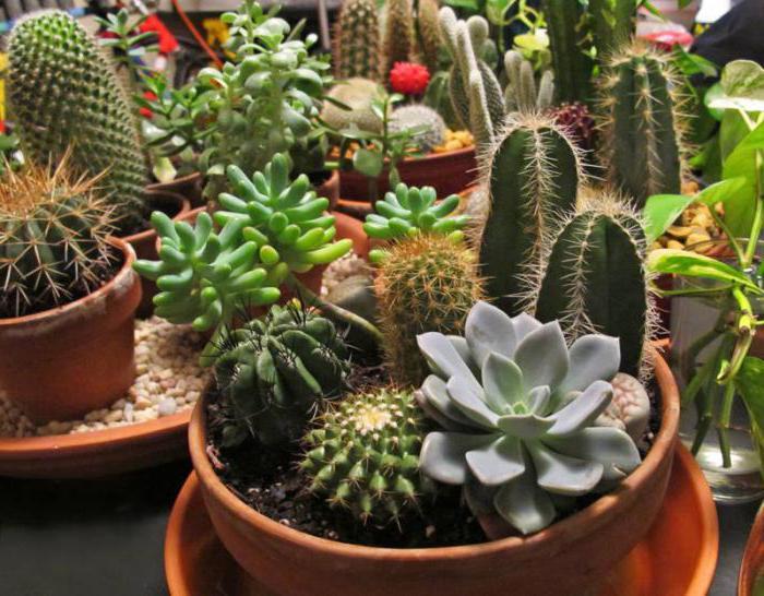Кактусы в доме: хорошо или плохо, приметы и суеверия