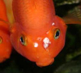 как лечить рыбок от манки в домашних условиях