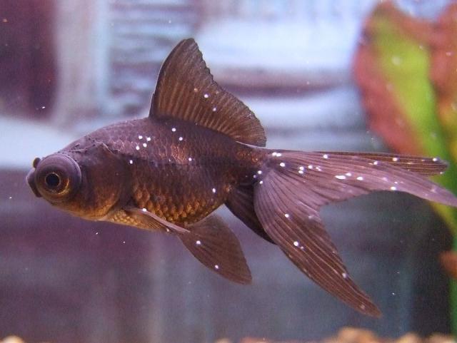 как лечить рыбок от манки фурацилином