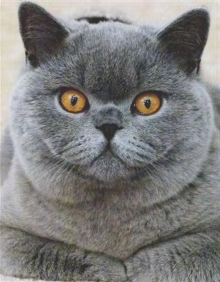 сколько ходят британские беременные кошки