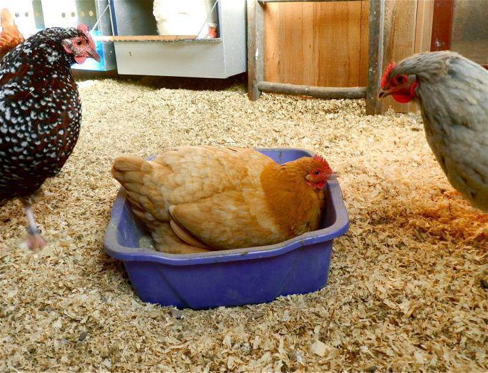 вши у куриц как вывести народными методами