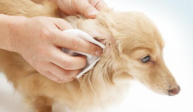 чистить уши собаке перекисью водорода