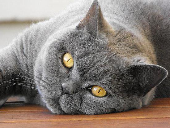 Сухой корм для британских кошек