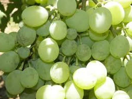 белый налет на гроздьях винограда