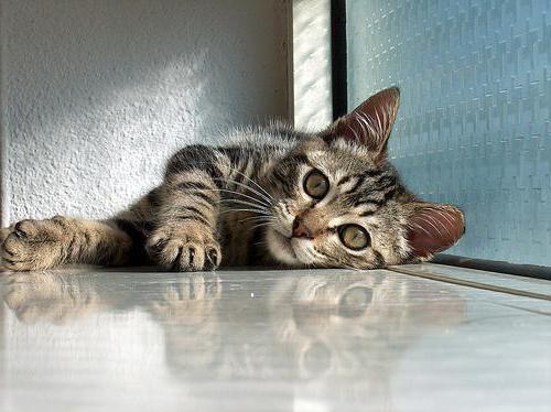 рахит у котенка