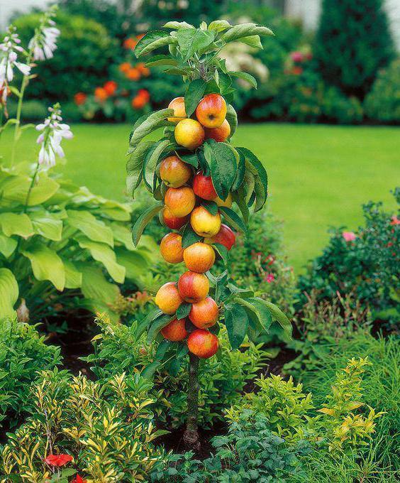 Обрезка колоновидных яблонь осенью схема