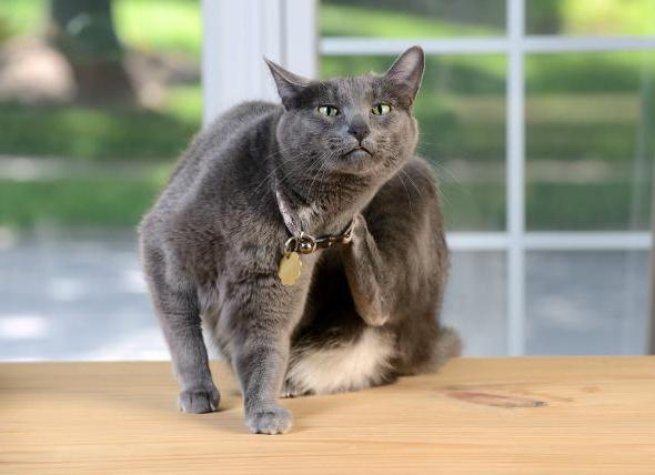 болячки у кошки на шее