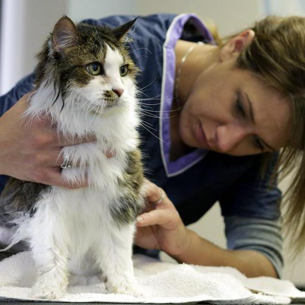 болячки на шее у кошки под шерстью
