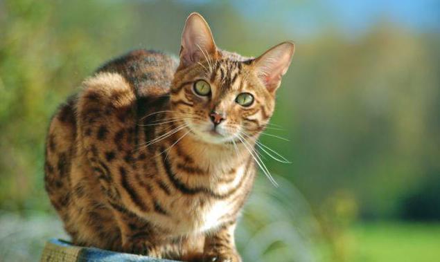 чем лучше кормить бенгальского котенка