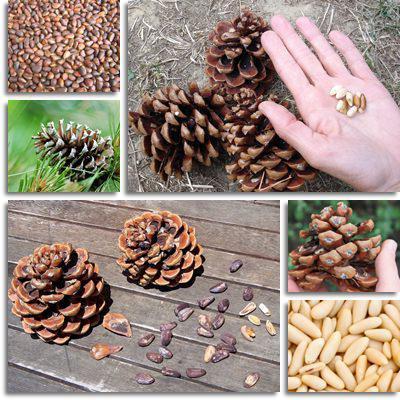 кедровые орехи применение