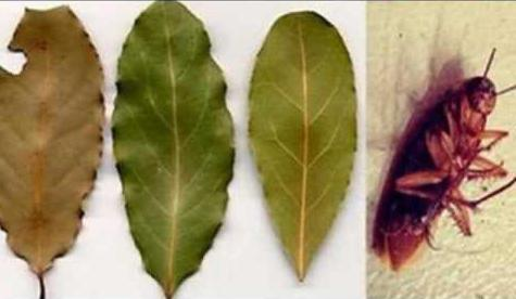 лавровый лист от паразитов