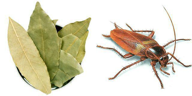 Лавровый лист от тараканов: как использовать