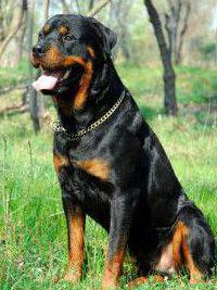 ротвейлер характер собаки