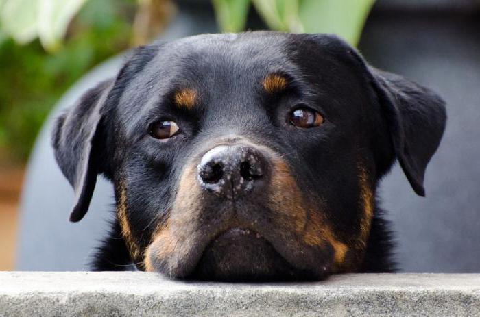собака породы ротвейлер характер