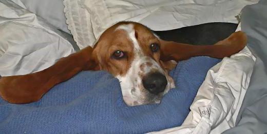 у собаки чешутся уши