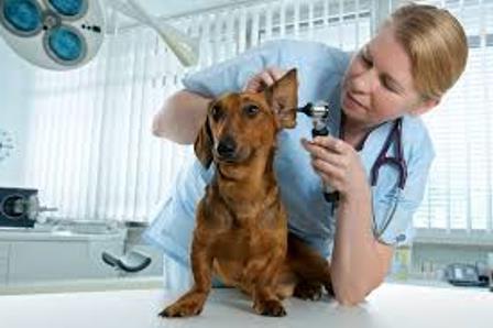как почистить уши собаке в домашних условиях